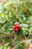 Autumn agriculture lingonberry, cowberry bush. Natural evergreen forest food.  stock photography