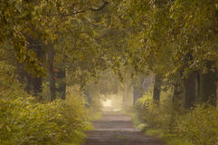 Autumn alley. In forest with fog Royalty Free Stock Photos