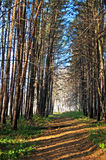 Autumn alley in park. Two numbers of pines and birchwood in the distance Stock Photography
