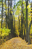 Autumn alley in park. Two numbers of dark trees, carpet from yellow leaves on the earth Stock Images