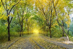 Autumn alley in park. Beautiful romantic autumn alley in park. Large trees with yellow leaves in the rays of setting sun. Natural autumn background Stock Images
