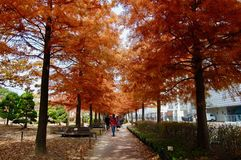 The autumn alley of Taxodium distichum bald cypress,cypress, so stock photos