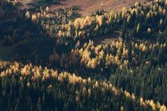 Autumn Alpine Larch Trees. On a mountainside Stock Image
