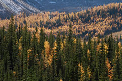 Autumn Alpine Larch Trees. On a mountainside Stock Photos