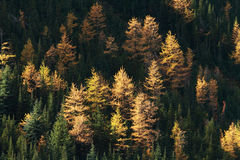 Autumn Alpine Larch Trees. On a mountainside Stock Images
