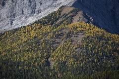 Autumn Alpine Larch Trees Stock Photo