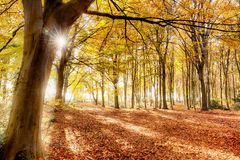 Autumn in amazing colour. Forest in full autumn colour. Woodland floor covered in bright orange fall leaves and morning sunlight bursting through the trees Stock Photos