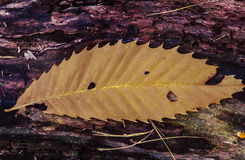 Autumn American Chestnut leaf Royalty Free Stock Images
