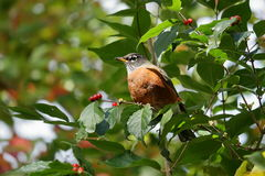 Autumn American Robin fotos de stock royalty free