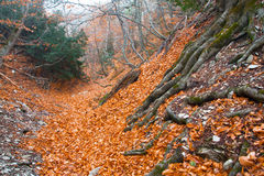Autumn ancient forest Royalty Free Stock Photo