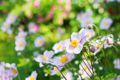 Autumn anemones Stock Images