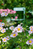 Autumn anemones Royalty Free Stock Images