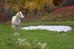 Autumn Appaloosa Stock Photography