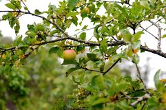 Autumn apple. Apple from north garden near Pskov, Russia Royalty Free Stock Image