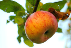 Autumn apple Royalty Free Stock Photos
