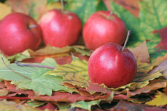Autumn apple crop. Red apples lying on autumn motley foliage removed close up Royalty Free Stock Photography