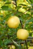 Autumn apple garden Stock Photos