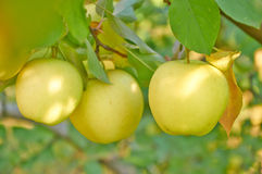 Autumn apple garden Royalty Free Stock Images