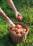 Autumn apple harvest Stock Photos