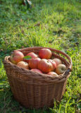 Autumn apple harvest Stock Photo