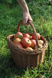 Autumn apple harvest Stock Photography