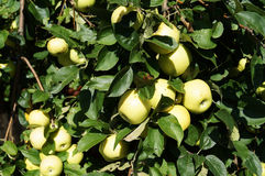 Autumn. Apple harvest in the garden. Royalty Free Stock Photography