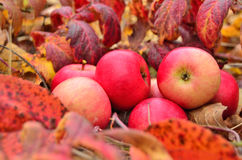 Autumn apple harvest. Red ripe apples on autumn leaves Royalty Free Stock Image