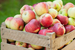 Autumn apple harvest Royalty Free Stock Photography