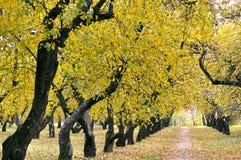 Autumn apple orchard Royalty Free Stock Photo