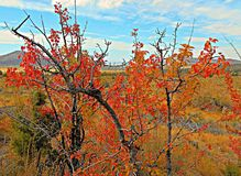 Autumn Apple Orchard. Autumn view in an abandoned apple orchard in the Crooked River National Grassland - near Culver, OR royalty free stock image