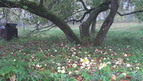 Autumn apple tree trunk  and apples in derelict garden. Old autumn apple tree trunk  and apples in derelict garden stock video