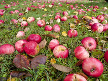 Autumn apples. On the ground stock photography