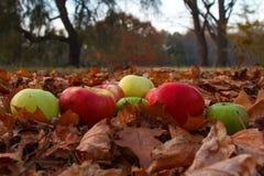 Autumn Apples Imágenes de archivo libres de regalías