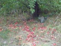 Autumn Apples Photos libres de droits