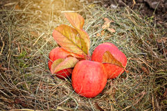 Autumn Apples foto de stock
