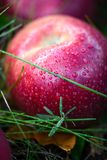 Autumn apples. The big red autumn apples stock image
