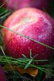 Autumn apples stock image