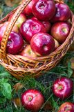 Autumn apples. Big red apples in the Basket Stock Photos