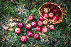 Autumn apples. Big red apples in the Basket Stock Images