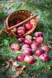 Autumn apples. Big red apples in the Basket stock image
