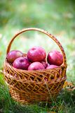 Autumn apples. Big red apples in the Basket Royalty Free Stock Images