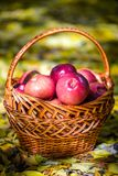 Autumn apples. Big red apples in the Basket royalty free stock photography