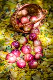 Autumn apples Royalty Free Stock Photography