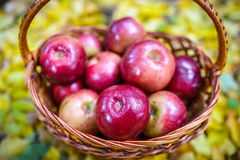 Autumn apples. Big red apples in the Basket royalty free stock photo