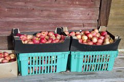 Autumn apples box in farm Royalty Free Stock Images