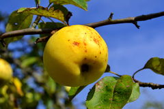 Autumn apples on a branch. Late autumn apple on a branch Stock Photography