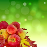 Autumn Apples. Color Colorful Green Red Close-up Healthy Food Eat Sweet Photo royalty free stock photo
