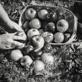 Autumn Apples Falling d'un panier Image stock
