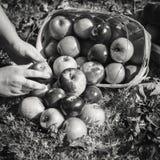Autumn Apples Falling von einem Korb Stockbild
