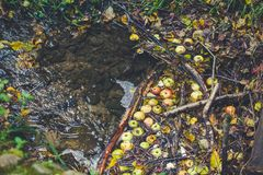 Autumn apples and folliage in the stream of a river. Apples, folliage and sticks in the watter royalty free stock photos